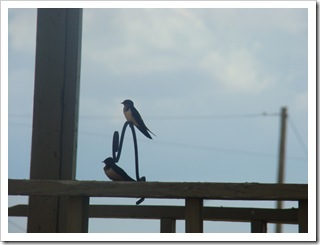 05-23-09 Barn swallows on porch001