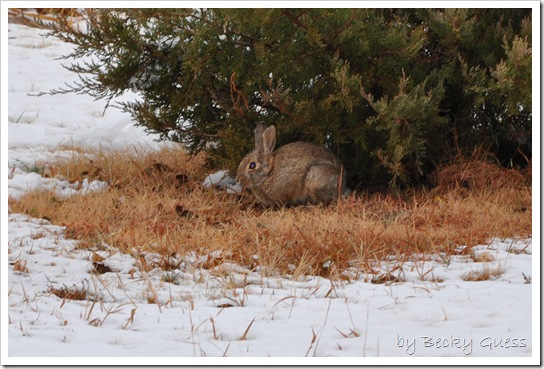 11-12-10 Rabbit in snow 01