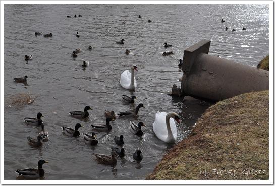 11-24-10 Feeding geese 14