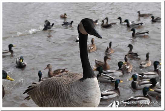 11-24-10 Feeding geese 17