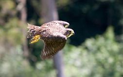 NZ_Falcon2