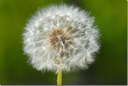 dandelion01