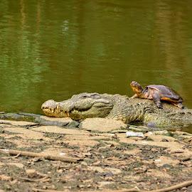 Leisure by Manabendra Dey - Animals Amphibians ( tortoise, crocodile, leisure, rest )