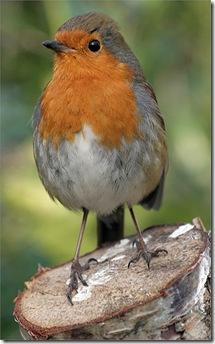 372px-Erithacus-rubecula-melophilus_Dublin-Ireland