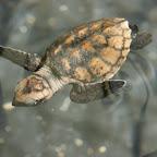 2 Tage alte Hawksbill Schildkröte