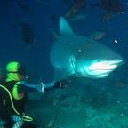 Ein kapitaler Bullenhai bei unserem ersten Sharkdive. Mal kucken wie gut die Bilder beim nächsten Tauchgang mit diesen wunderschönen Tierchen werden....  :-)