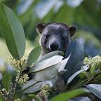 Tree Kangoroo