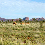 Wilde Kamele vor den Olgas