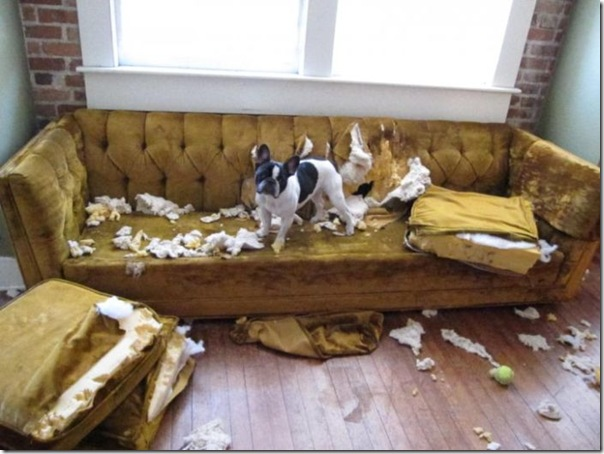 Alguns cães não podem ficar sozinhos em casa (1)