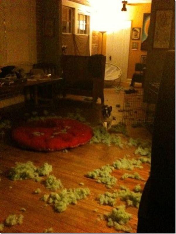 Alguns cães não podem ficar sozinhos em casa (2)
