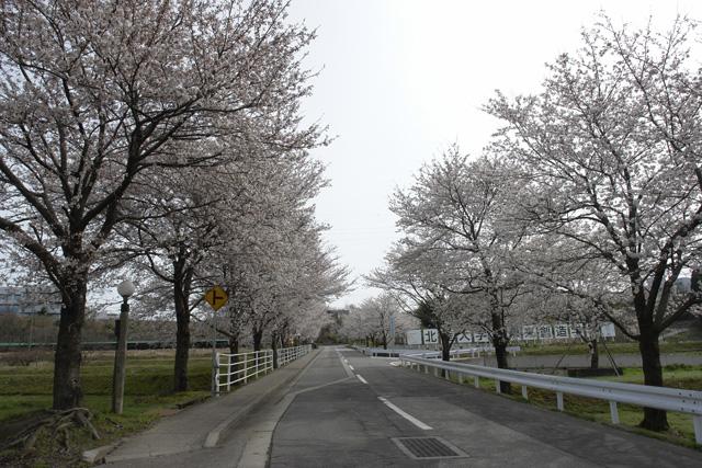 金沢 桜満開 !!