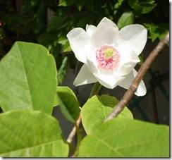 magnolia 004