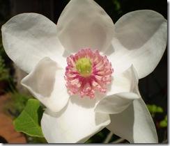magnolia 005