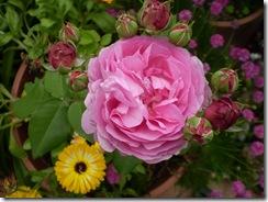 Estanque y rosas 13 de mayo de 2009 005