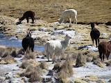 Nos premiers lamas de près