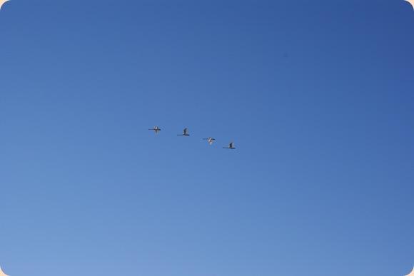 svaner på vej