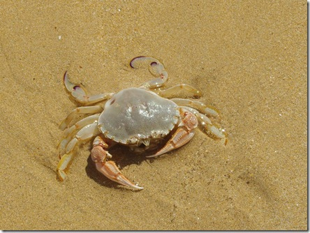 Sand Crab [Ovalipes australiensis]