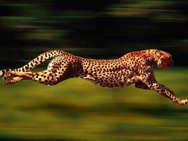 Скорость гепарда