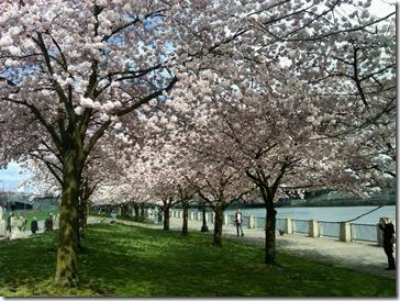 Cherry2 April 5