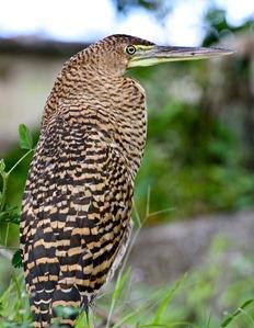 Um passarão Costa Riquenho, capturado com a minha magnífica Canon f/4 L 70-200. Esta lente ainda não é bem o que eu queria, mas preferi não gastar 2400 dólares na versão melhorzinha