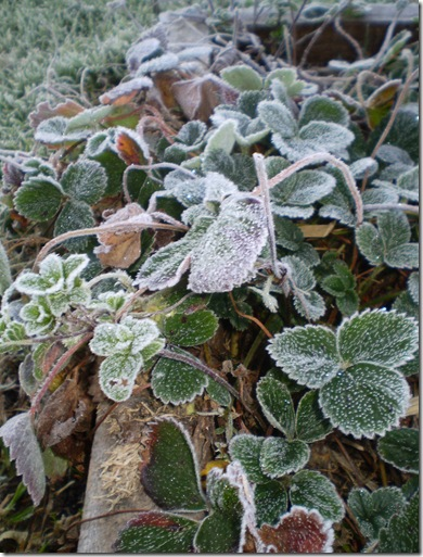 Frost in June 2010 002