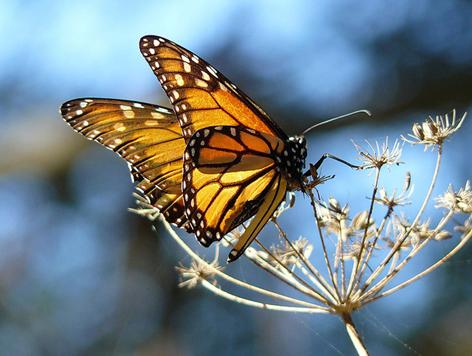 mariposa sobre dandelion