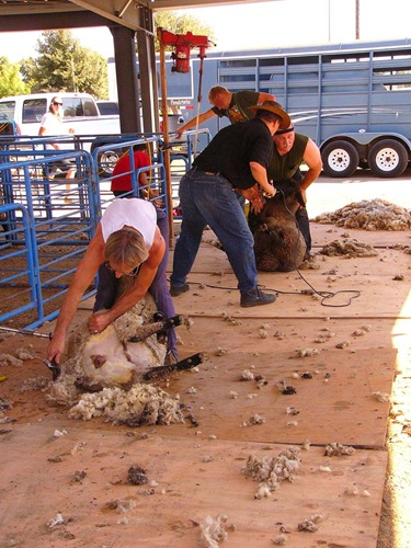 shearing-contest