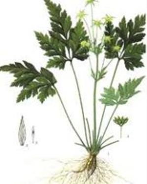 Coptis-stemless-herb