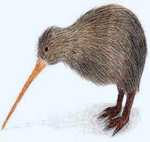Kiwi-newzealand-bird