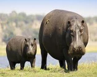 hippo-river-horse