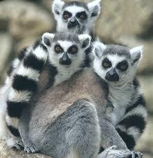 Lemur-Smallest-primate