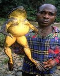Rana_goliath-largest__frog