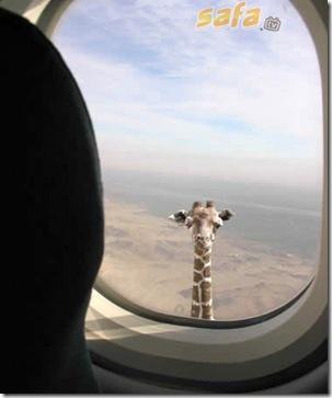 Tallest_animal— Giraffe
