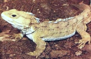 primitive-reptile — Sphenodon-tuatara-