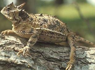 Phrynosoma-cornutum-viviparous-reptile