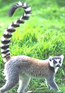 Lemur-primitive-primate