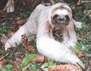 slowest-mammal-Sloth