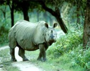 rhino-Kaziranga_National