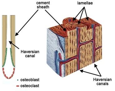 Haversian-canals