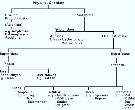 Chordata-classification