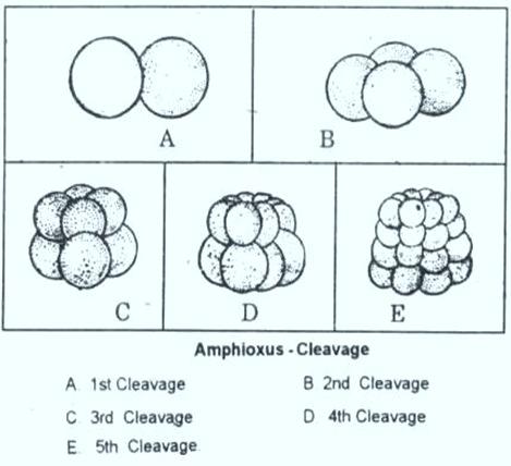 amphioxus -blastula