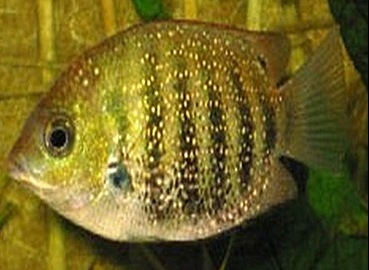 Etropius-suratensis