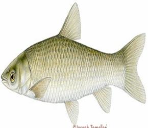Hypothalamychthys-molitrix-silver-fish