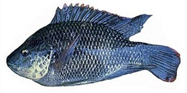 Tilapia-mossambicus