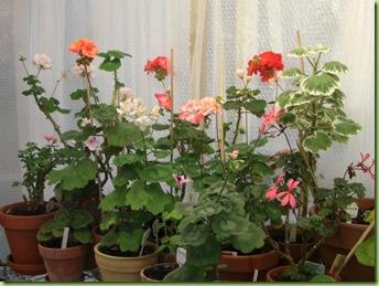 Blomster og drivhus mai 09 015