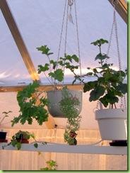 Blomster og drivhus mai 09 016