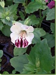 Blomster og drivhus mai 09 022