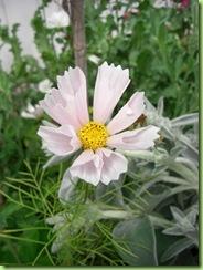 Blomster i haven juli 09 003