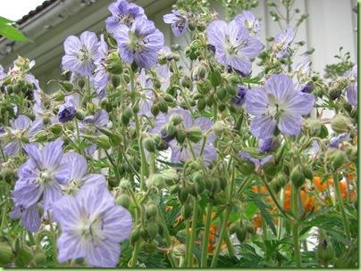 Blomster i haven juli 09 013