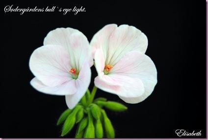 Pelargonium  juli -10 010
